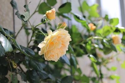 乗馬クラブで咲き乱れるバラ