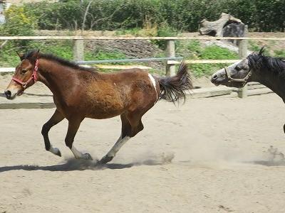 新馬調教 放牧