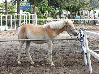 ハフリンガーのいる乗馬クラブです(^^)