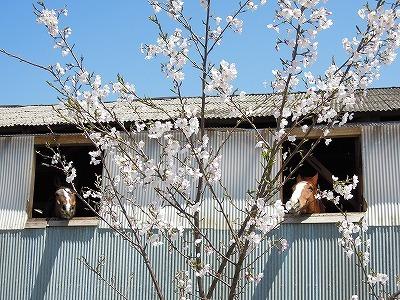 乗馬クラブの桜が見事に咲きました