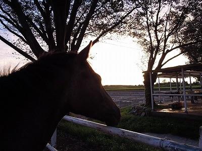 夕焼けを眺める馬