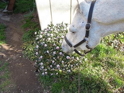 馬と沈丁花
