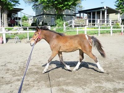 新馬調教 馬の理性を育てる