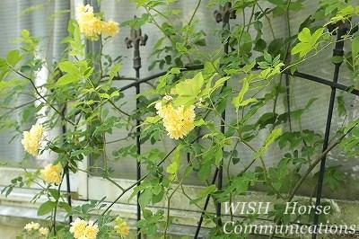 モッコウバラ黄色