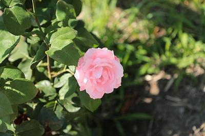 今年植えたバラ