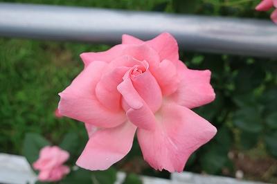 乗馬クラブの四季咲きバラ