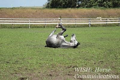 砂浴びする馬