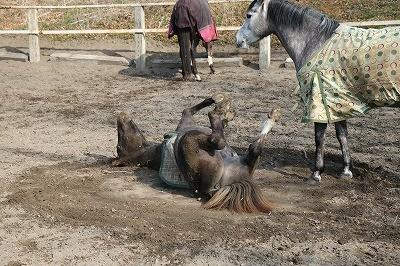 子馬の砂浴び