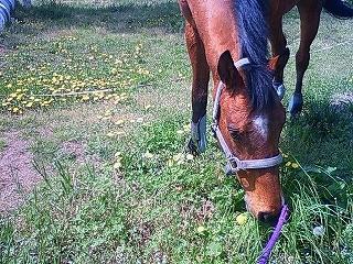 馬はたんぽぽがお好き?