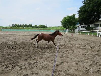 新馬調教 のびやかな駈歩