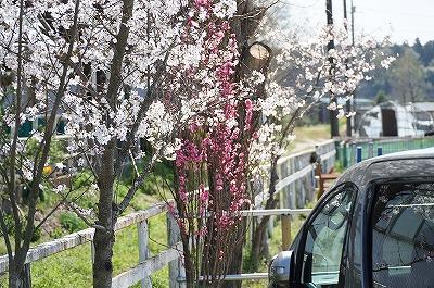 乗馬クラブの桜と桃