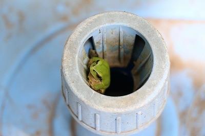 春になってカエルが