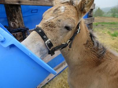 ミルクを飲む子馬