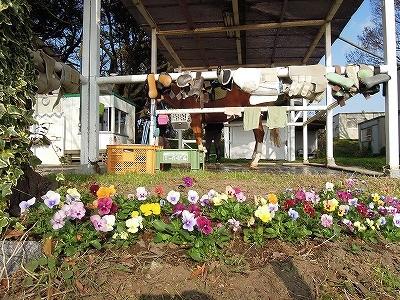 乗馬クラブの花壇のパンジー