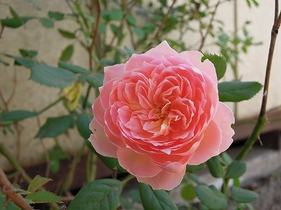 乗馬クラブのバラが咲きました2