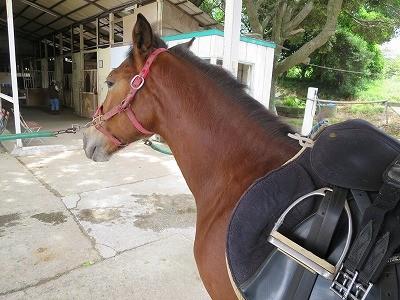 新馬調教 馬装時にリラックスしていられるように