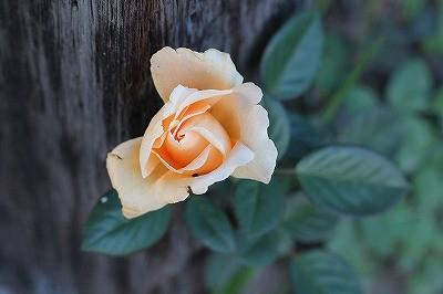 乗馬クラブのバラの花