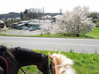 馬でお花見