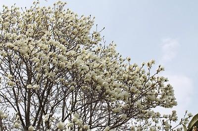 乗馬クラブのコブシの花