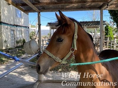 乗用馬の育成