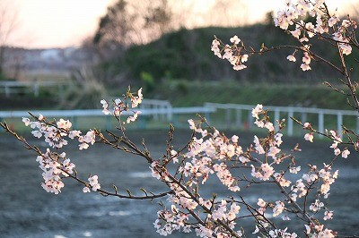 夕日に染まる桜の花
