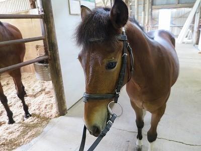 新馬調教 ハミの動きを教える