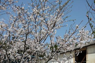 乗馬クラブの桜