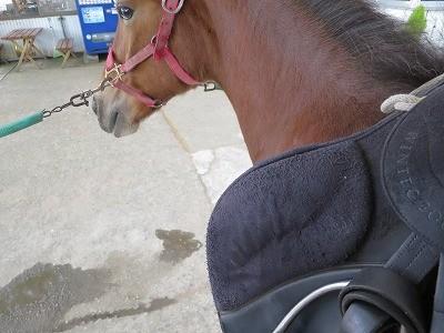 新馬調教 腹帯の教育