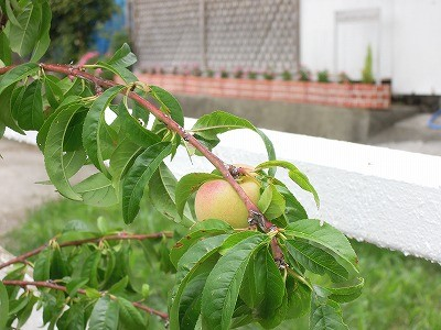 桃の実大きくなってます