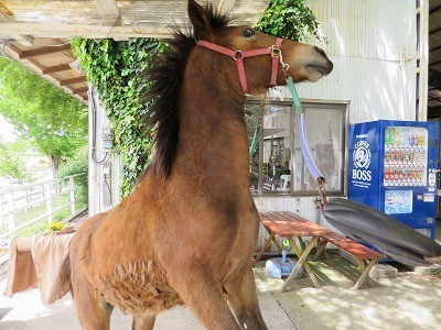 新馬調教 不安から立ち上がる馬