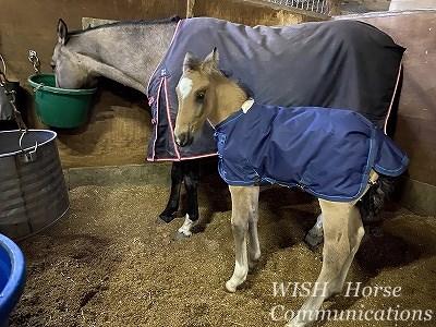 仔馬の保温と教育