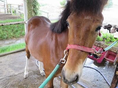 新馬調教 とは馬の健康作り、気持ち作り、頭作り