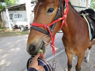 新馬調教 初めて頭絡をつける