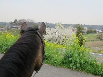 馬とお花見