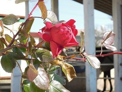 乗馬クラブの冬のバラ