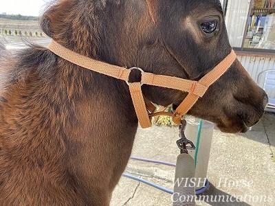 乗用馬の子馬