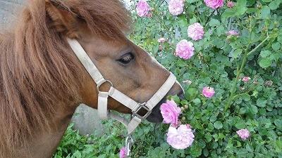 きれいに咲いたバラとポニー