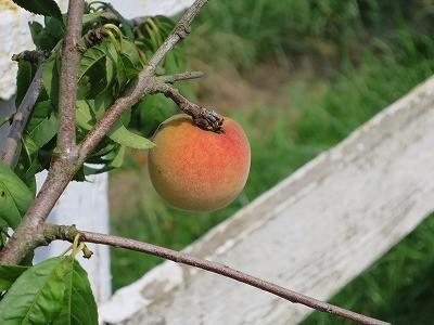 乗馬クラブになった桃の実