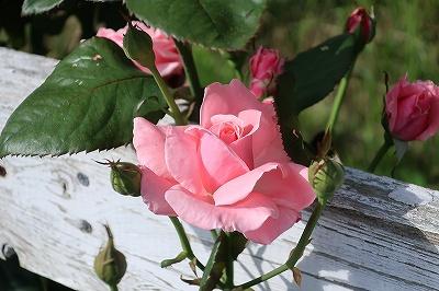 可愛いバラのつぼみ