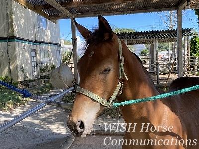 乗用馬調教