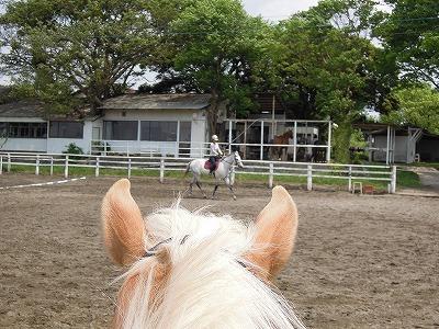 ハフリンガー乗馬