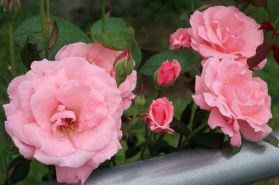 ウィッシュホースコミュニケーションズの薔薇