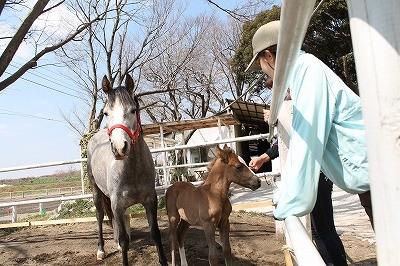 お母さん馬と一緒に初めての放牧