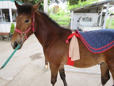 新馬調教 背中への馴化