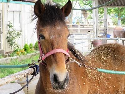 新馬調教 お手入れは馬と心を通わせる最高の時間