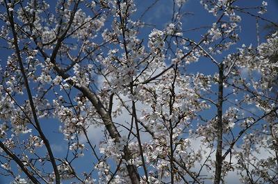 ウィッシュの桜