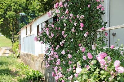 バラがたくさん咲く乗馬クラブ