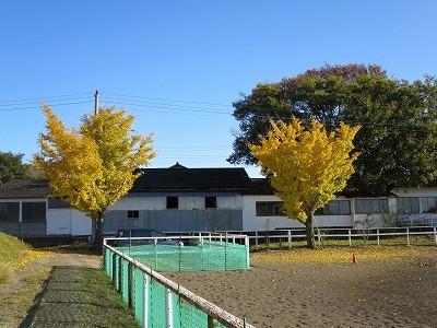 乗馬クラブの銀杏の紅葉