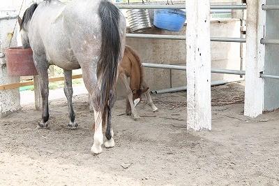 足が長すぎる仔馬が下を向くと