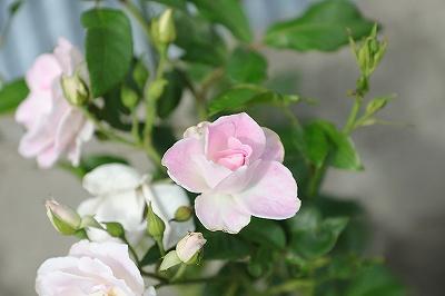 今年はバラがたくさん咲きました